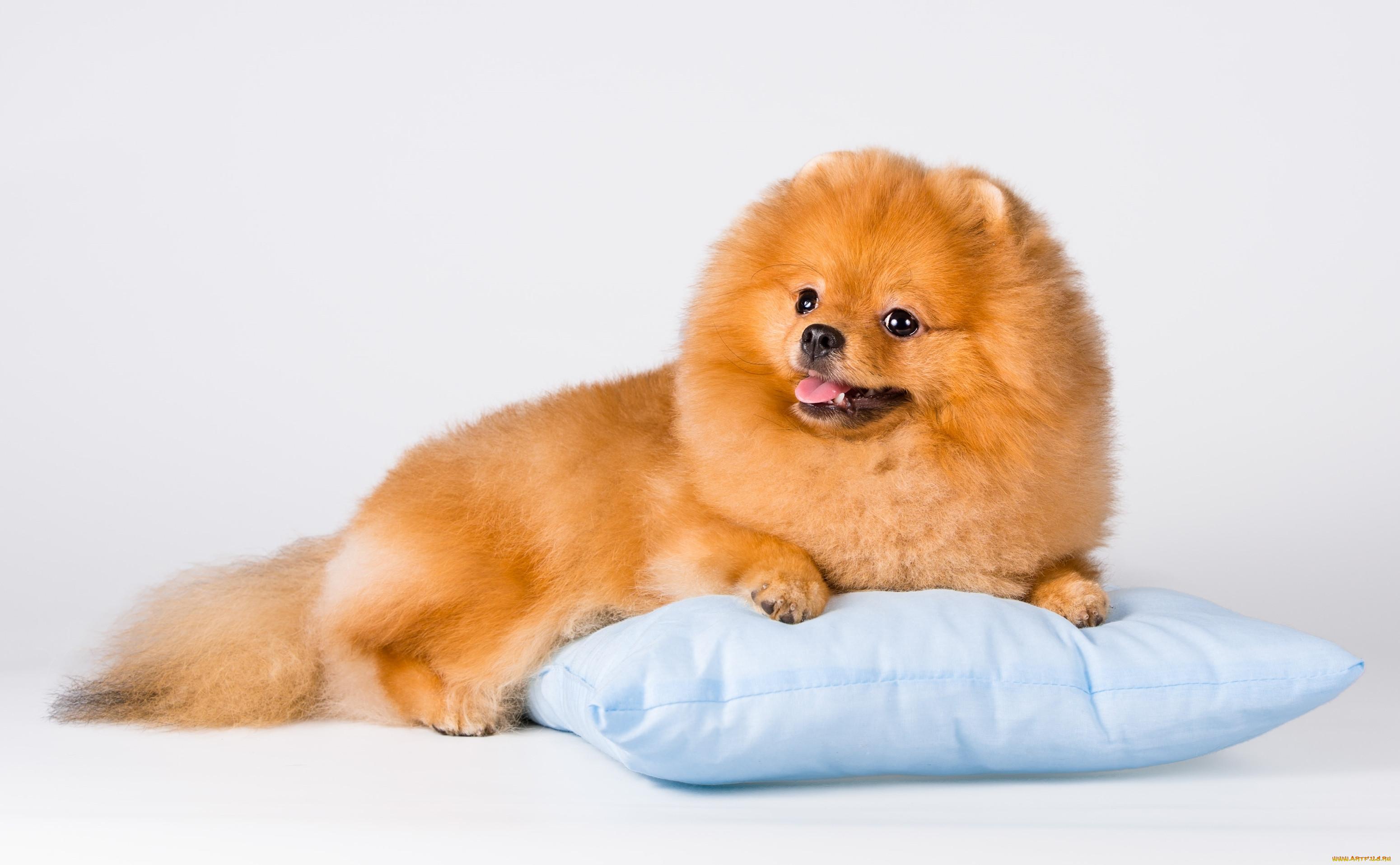 Картинка собаки пушистика